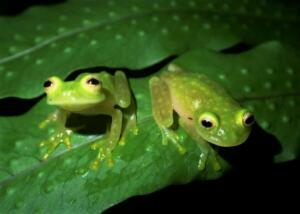 Tree-frogs